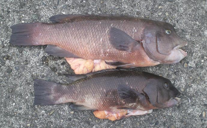 沖堤での落とし込み釣りで本命チヌ不発もコブダイ熱烈歓迎【須磨一文字】