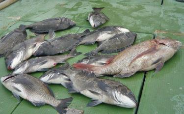 イカダからのカカリ釣りで70cmマダイ&55cm頭にクロダイ12尾【三重県】