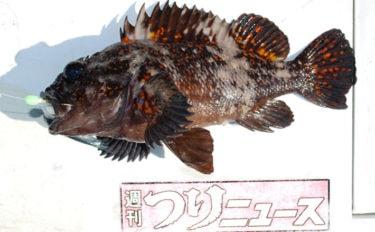 ムラソイ船で良型根魚多数 40cm級頭に尺超え続々【茨城・大貫丸】