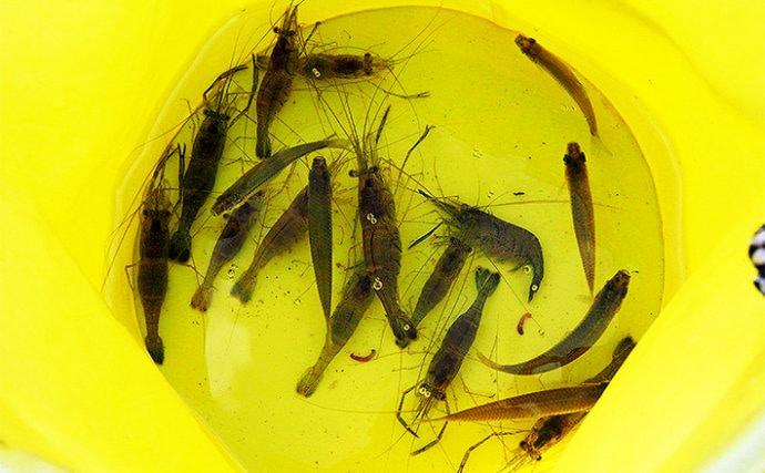 夕マヅメのテナガエビ釣りで本命16匹【千葉県・手賀沼公園】