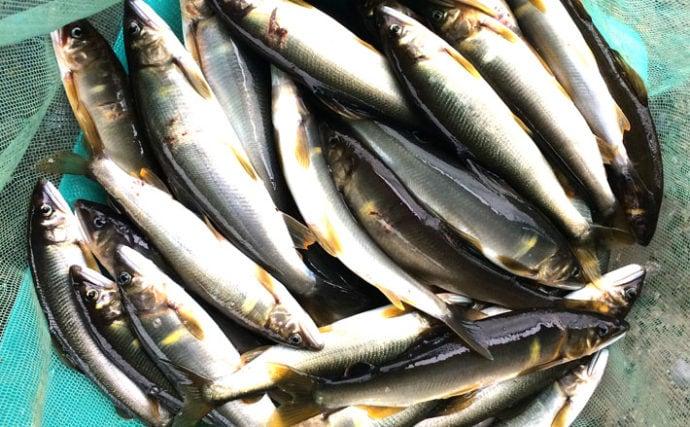 渡良瀬川アユ解禁日の友釣りで天然遡上含み20尾お目見え【栃木県】