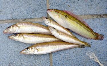 キス釣りの定番『虫エサ』3種と使い分け方法 置き竿にはアオイソメ?