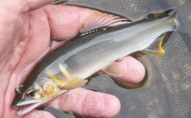 故郷の河川でのアユ友釣りで23匹 2時間でツ抜け【兵庫県・矢田川】