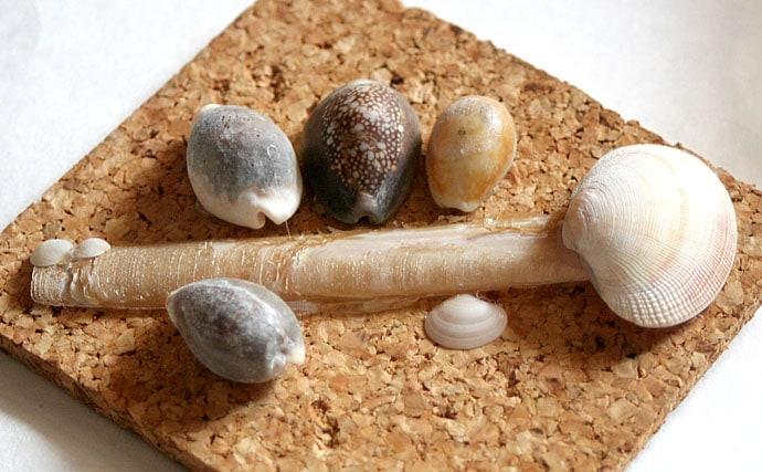 タカラガイの探し方と飼育方法 アクセサリーやインテリアにも活用可能