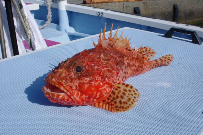 沖で釣れる『いろんな意味で危ない魚』5選と対処法 おもらしに要注意