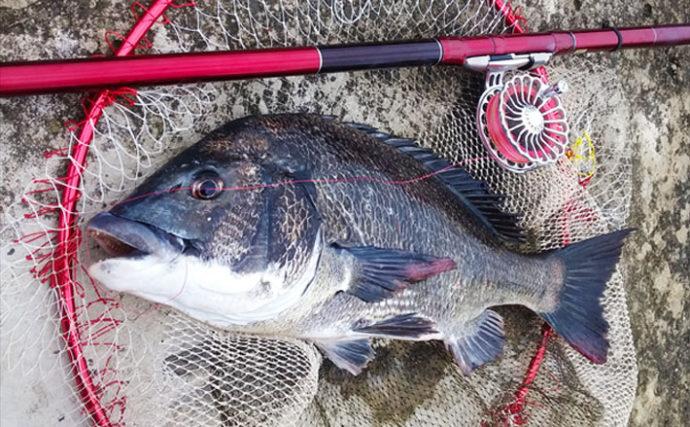 クロダイ狙い『前打ち』釣りで50.5cm年無し 40cm後半が好釣