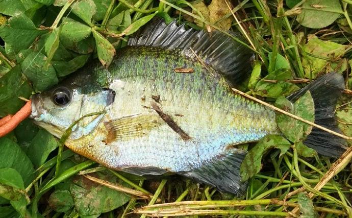 3種のエサ&ワームで実釣検証 ブルーギルが一番釣れるのは?【宮城】