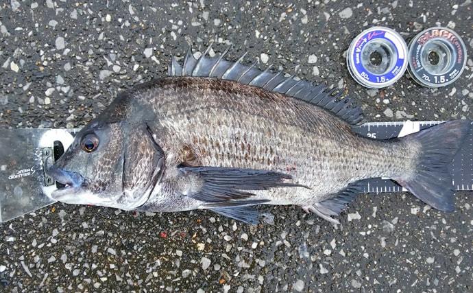 波止フカセ釣りで46cmクロダイ タナは底スレスレ【千葉・乙浜漁港】