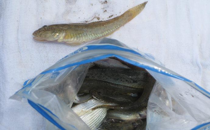のべ竿ハゼ釣りで短時間30匹 紀の川の夏ハゼシーズン開始【和歌山】
