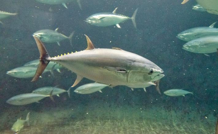 サカナの食性と口・歯の関係 海藻を食べる魚は人間と同じ歯を持つ?