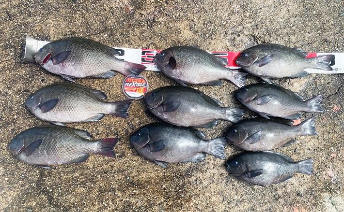 神戸沖波止フカセ釣りでグレ10尾 コマセワークでエサ取り分離がキモ
