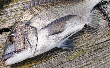 カカリ釣りで39cm頭にチヌ3匹 『冷やし中華』がポイント?