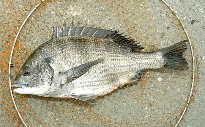 紀州釣りで這わせて狙う良型チヌ 43cm頭に本命2尾【堺港セル石】