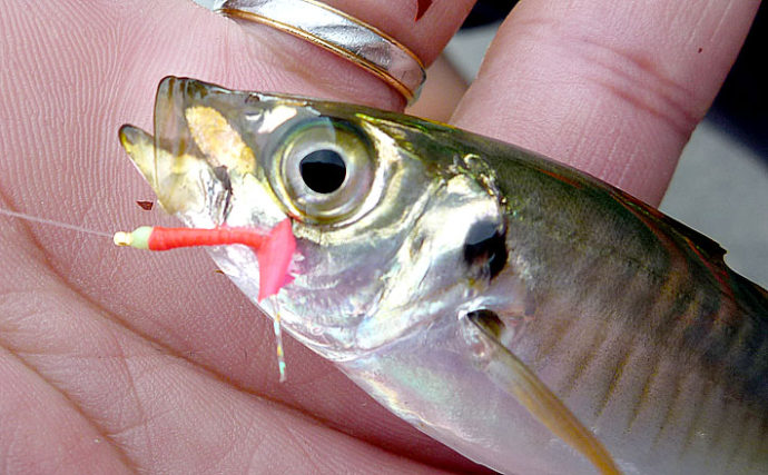 波止サビキ釣りで小アジと小サバを釣り分ける方法【大阪府・汐見埠頭】