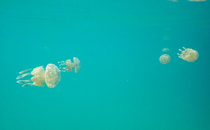 タコクラゲを南国高知で採集して飼ってみた 12時間も死んだふり?