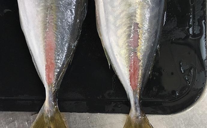 脂ノリノリ『メクリアジ』の特徴と釣り方解説 輪ゴムで釣果アップ?