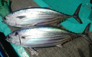 水産会社勤務のプロが教える「おいしい旬魚」の見分け方:本ガツオ