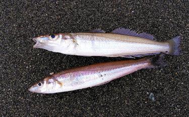 大磯海岸で投げキス釣り 3色前後で15cm級シロギス登場【神奈川】