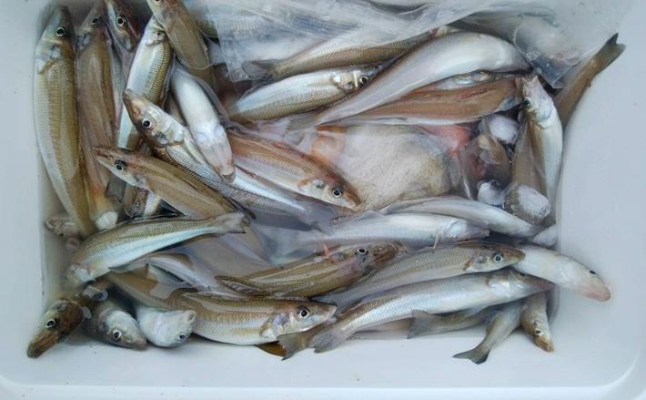 【三重県】船釣り釣果速報 根魚・青物・マダイにキスなど多彩釣果!