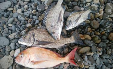 サーフでの渚釣りで年無し頭に良型クロダイにマダイも【三重県・紀北】