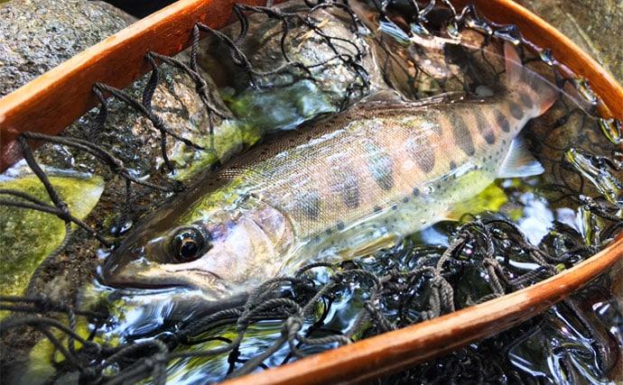 渓流釣行でアマゴやイワナ9匹 増水中は傍流が狙い目?【庄川水系】