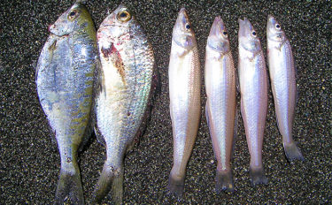 投げキス釣りで21㎝頭4尾 ハイシーズンはエサ数種を準備【酒匂海岸】
