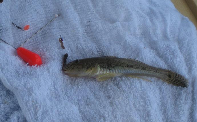 ハゼ狙いのミャク釣り 2時間で本命15㎝頭に37匹【和歌山・紀ノ川】
