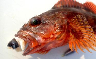 日中の胴突き探り釣りで25cm級良型ガシラが入れ食い【大阪北港】