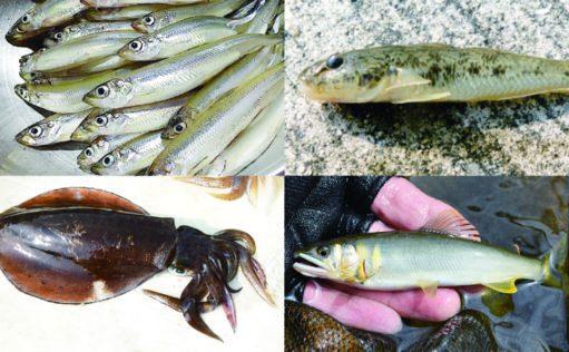 一年で一生を終える代表的な「年魚」4選 サイクル知れば釣果もアップ