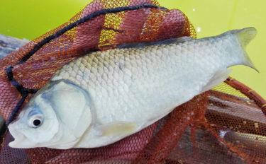 段底&宙釣りでヘラブナ好調 エサを使い分け2ケタ【竜田川釣り池】
