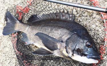 【大阪湾2019】チヌ落とし込み釣り最新状況と今後の動向を解説