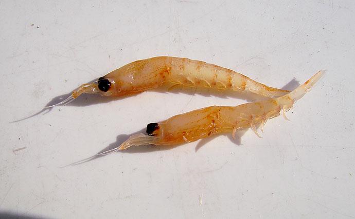 ノベ竿で狙う小アジのウキ釣りがやみつきになる理由 秋がシーズン本番
