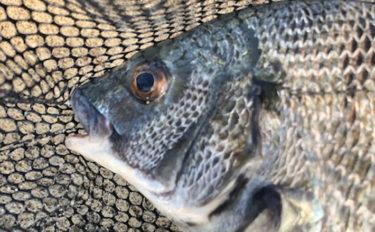 イカダでのクロダイ狙いダンゴ釣りで42cm頭に本命13尾【三重県】