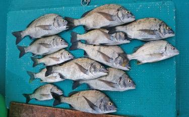 【三重県】イカダ&カセ釣果速聴 年無し含み黒鯛ツ抜けに78cmマダイ