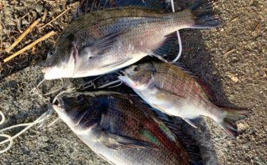 ウキダンゴ釣りで良型クロダイ3尾 潮止まりで連釣!【横須賀・浦賀】