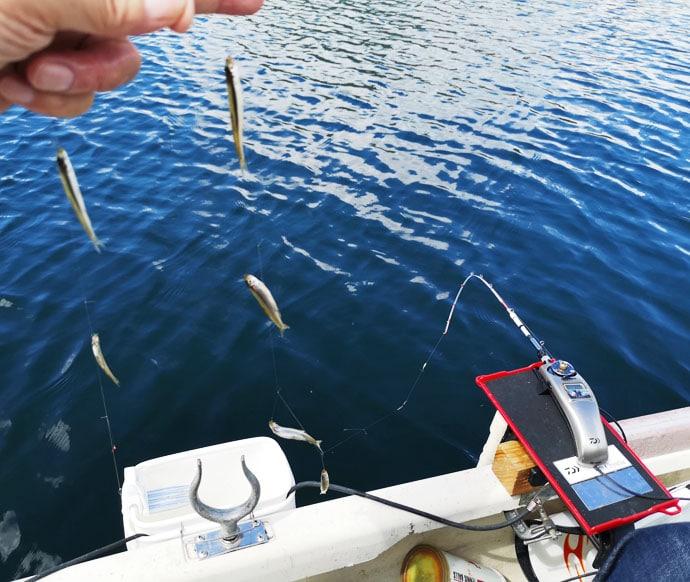 解禁直後のボートワカサギで平均6~8cmサイズが518尾【群馬・榛名湖】