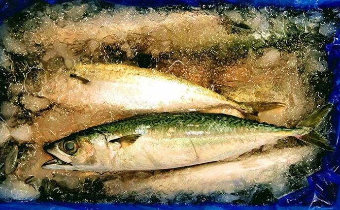 水産会社のプロが教える「おいしい旬魚」の見分け方:『秋サバ』