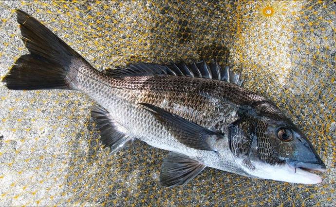 沖波止でのウキダンゴ釣りで年無し含みクロダイ7尾【三重・天満浦】