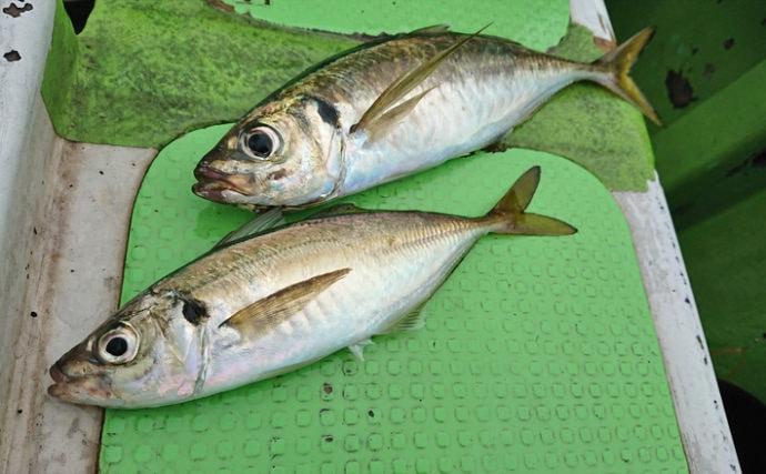 東京湾LTアジ釣行で39cm頭44尾 入れ食いで30連続ヒットも!