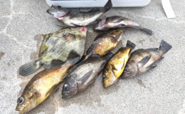 波止でのちょい投げメバル釣りで19cm本命 時合いはまさかの真っ昼間