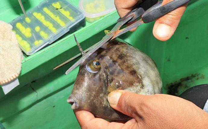 カワハギの『キモ』を新鮮に食す2つの下処理方法 釣ったら取り出す?