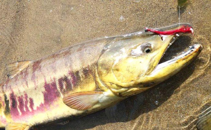 『カラフトマス』求め北海道2days遠征釣行記 フライで最大81cm