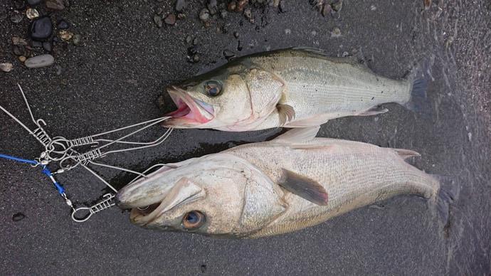 コノシロ引掛け泳がせ釣りで87cmランカーシーバス御用【三保海岸】