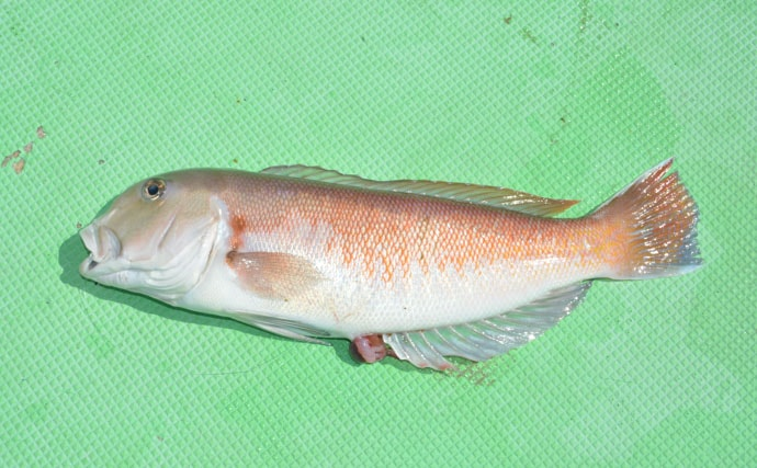 高級魚『アマダイ』は色違いの3兄弟だった 白色はマボロシ級?