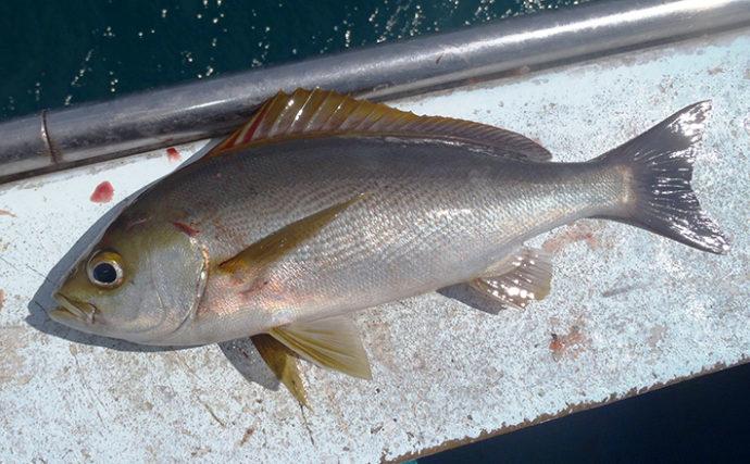イサキ船で38㎝頭に本命83匹 上めのタナで良型!【和歌山・岬丸】