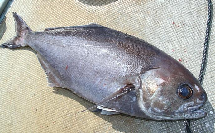 中深場の怪物『メダイ』釣りシーズンイン 代表的な2つの釣り方を解説