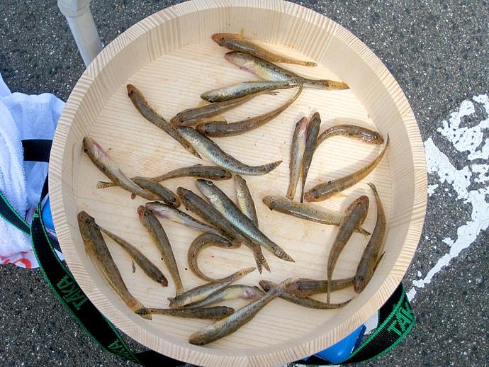 シーズン本格化ハゼ釣りで12cm頭に31尾 復調の兆しあり【紀ノ川】