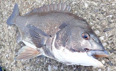 秋の落とし込みチヌ攻略 浮いた魚をフジツボと岩ガニで狙う【大阪湾】