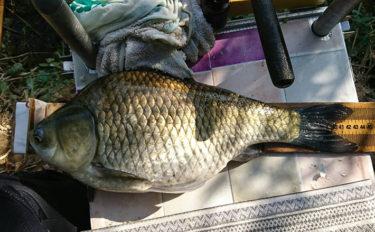 秋の野釣り47cm巨大ヘラブナ手中 40cm超が連発【上津ダム】