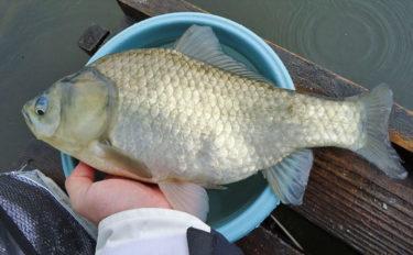 ヘラブナ釣り『チョウチンウドンセット』のキホンを解説 秋はタナを釣れ